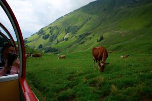 沿線は牧場で、牛がお出迎え♪